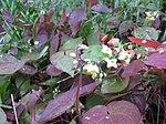 Ruhland, Grenzstr. 3, gelbe Elfenblume im Garten, blühend, Frühling, 06.jpg