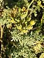 Ruta chalepensis (fruits).jpg