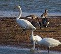Sångsvan Whooper Swan (13041840153).jpg