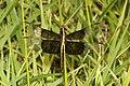 SKIMMER, WIDOW (Libellula luctuosa) (5-28-2018) rick evans prairie w m a, hemstead co, ar -01 (43379548332).jpg