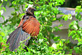 SOUTHARN GREATER COUCAL-কুবো পাখি.JPG