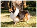 Sable male Shetland sheepdog - 2006.jpg