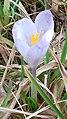 Saffron - Crocus vernus 00c.jpg