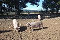 Saint Christol - Porc du Ventoux 10.JPG