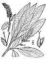 Salix glauca(01).jpg