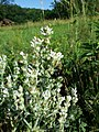 Salvia aethiopis sl12.jpg