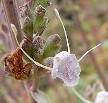 Salvia apiana 4.jpg