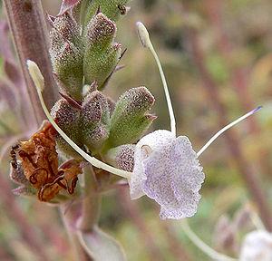 Salvia apiana - Image: Salvia apiana 4