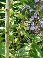 Salvia omeiana Crug Thundercloud ^ Cicerbita plumieri - Flickr - peganum.jpg