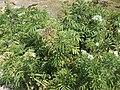 Sambucus ebulus at Matka Canyon.jpg