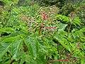 Sambucus racemosa (8088055644).jpg
