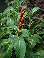Sanchezia speciosa 2.jpg