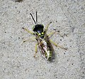 Sand Wasp. Microbembex monodonta. Sphecidae (37305700964).jpg