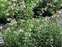 Saponaria officinalis Prague 2011 1.jpg