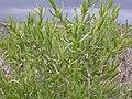 Sarcobatus vermiculatus (4050318742).jpg