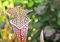 Sarracenia pitcher plant IMG 7980.jpg