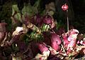 Sarracenia purpurea GotBot 2015 001.jpg
