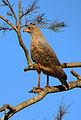 Savanna Hawk (gavião-caboclo).jpg