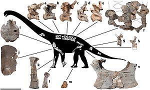 Savannasaurus - Skeleton