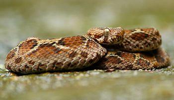 Saw scaled viper.jpg