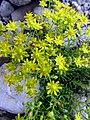 Saxifraga aizoides L. (7582712724).jpg
