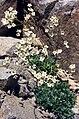 Saxifraga paniculata (1) 1.jpg