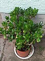 Saxifragales - Crassula ovata - 7.jpg
