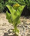 Scadoxus multiflorus in fruit.jpg