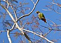 Scaly-headed Parrot (Pionus maximiliani) (31408797720).jpg