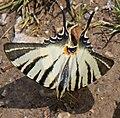 Scarce Swallowtail (14366245709).jpg