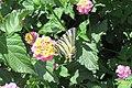 Scarce swallowtail (MakGi) (34897543521).jpg