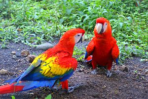 Scarlet Macaw at a rescue centre in Panama. Th...