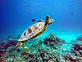Schildkröte Malediven.jpg