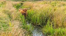 Schotse Hooglander zoekt verkoeling in het water. Locatie, natuurgebied Delleboersterheide – Catspoele 02.jpg