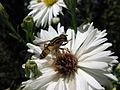 Schwebfliege auf einer Blüte.jpg