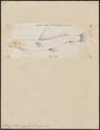 Sclerognathus elongatus - 1700-1880 - Print - Iconographia Zoologica - Special Collections University of Amsterdam - UBA01 IZ15000019.tif