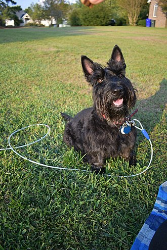 Scottish Terrier - Scottish Terrier