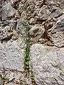 Scrophularia peregrina sl6.jpg