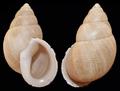 Scutalus mariopenai shell 2.png