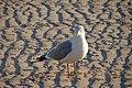 Seagull (162400010).jpg