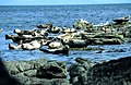 Seals on Kildonan rocks - geograph.org.uk - 90269.jpg