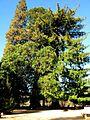 Secuoia roja del Noguer - Viladrau 20070216 CIC 1056.JPG