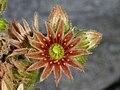 Sempervivum tectorum (14472560746).jpg