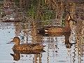 Seney National Wildlife Refuge - Wildlife (9702194445).jpg