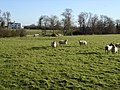 Sheep near Twyning Park - geograph.org.uk - 326327.jpg