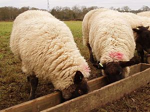 Sheep pair at trough.jpg