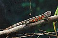 Shinisaurus crocodilurus - Tiergarten Schönbrunn 3.jpg