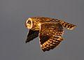 Short-eared Owl - Asio flammeus - Brandugla.jpg
