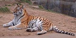 Siberian-Tiger.jpg