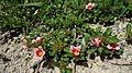 Sida sp., Malvaceae, Atlantic forest, northeastern Bahia, Brazil (7507164300).jpg